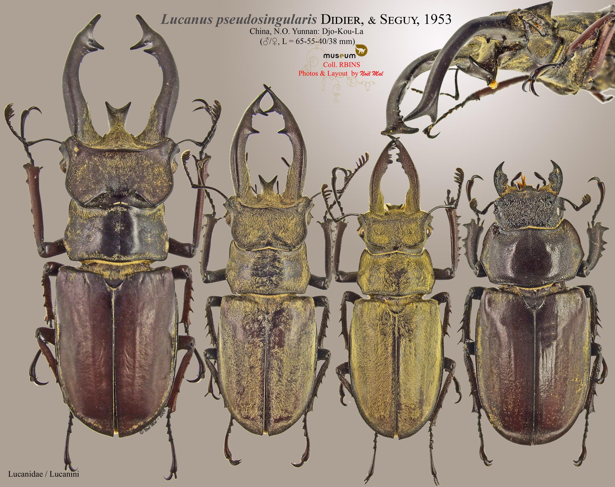 Lucanus pseudosingularis.jpg