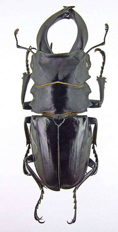 Odontolabis alces 1285.jpg