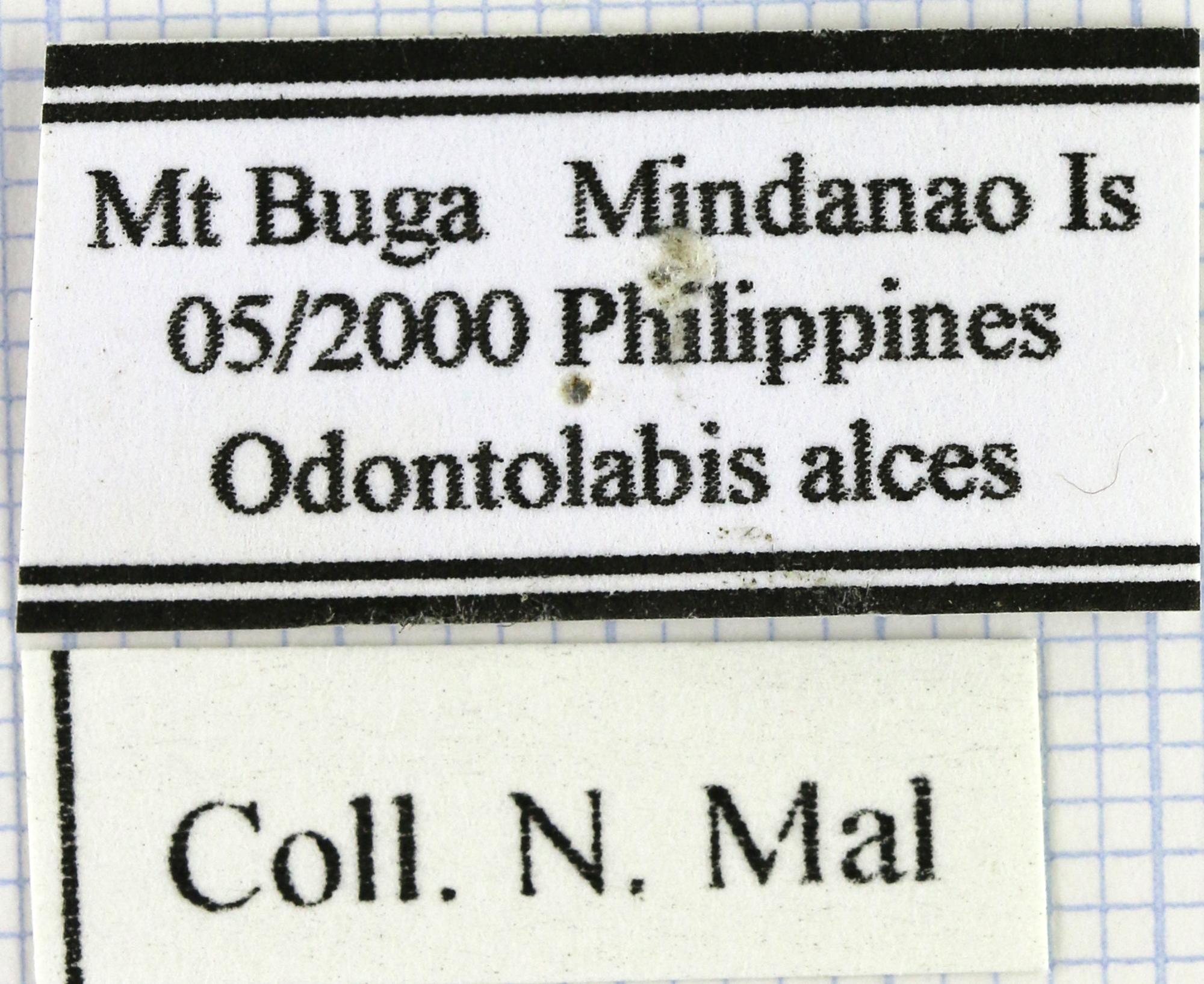 Odontolabis alces  lab 29709.jpg