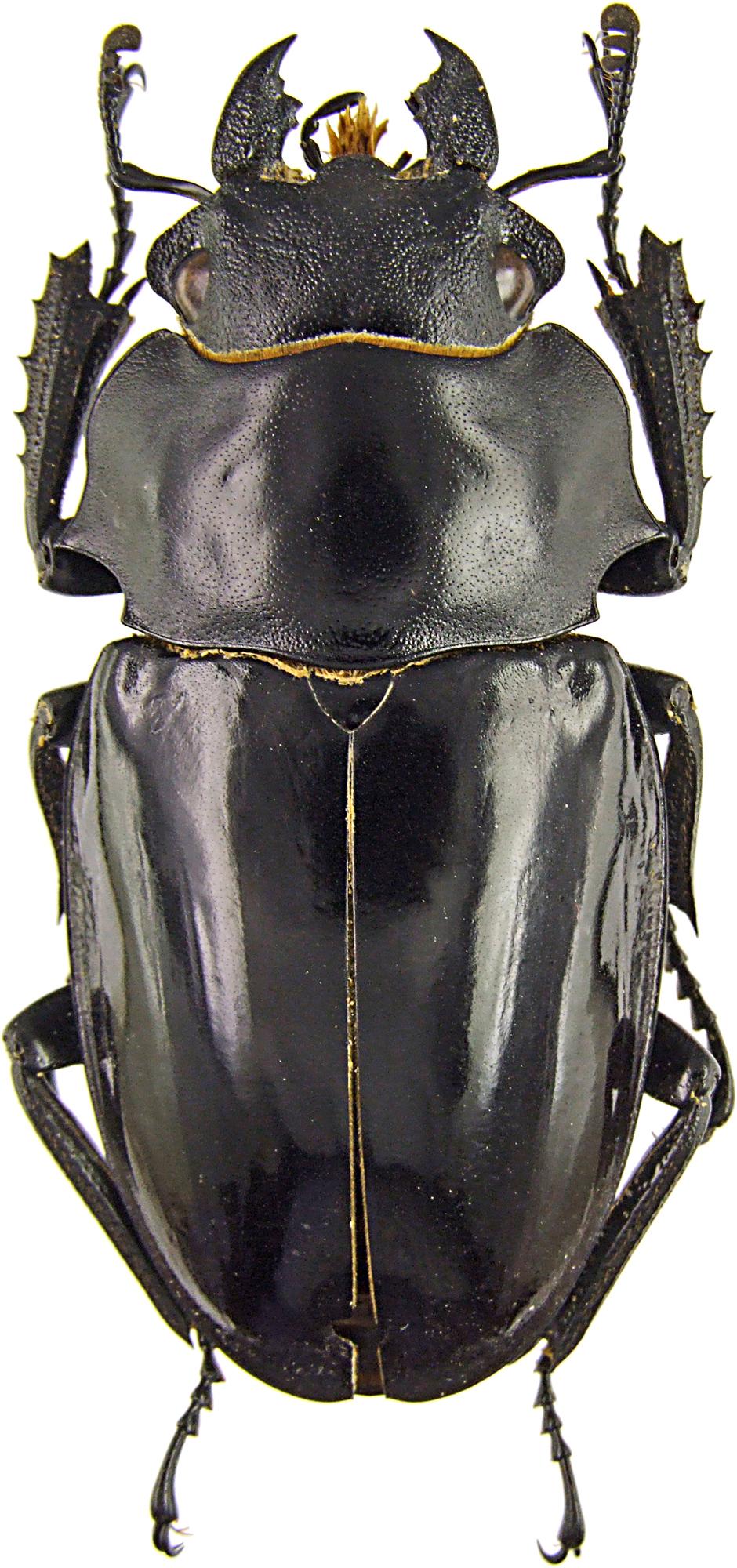 Odontolabis bellicosa f  43030.jpg