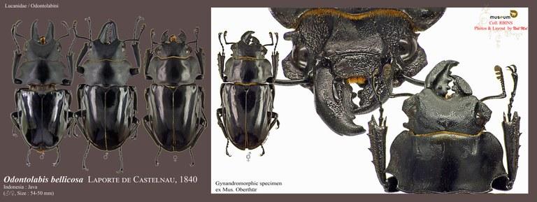 Odontolabis bellicosa.jpg