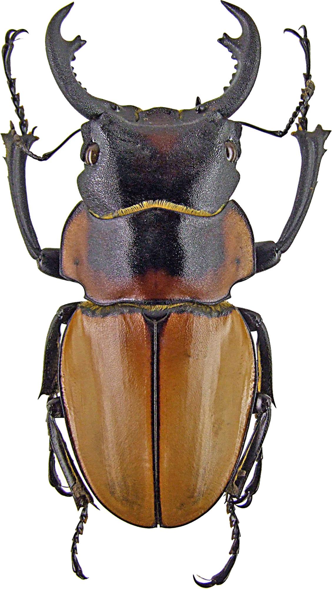 Odontolabis brookeanus 1242.jpg