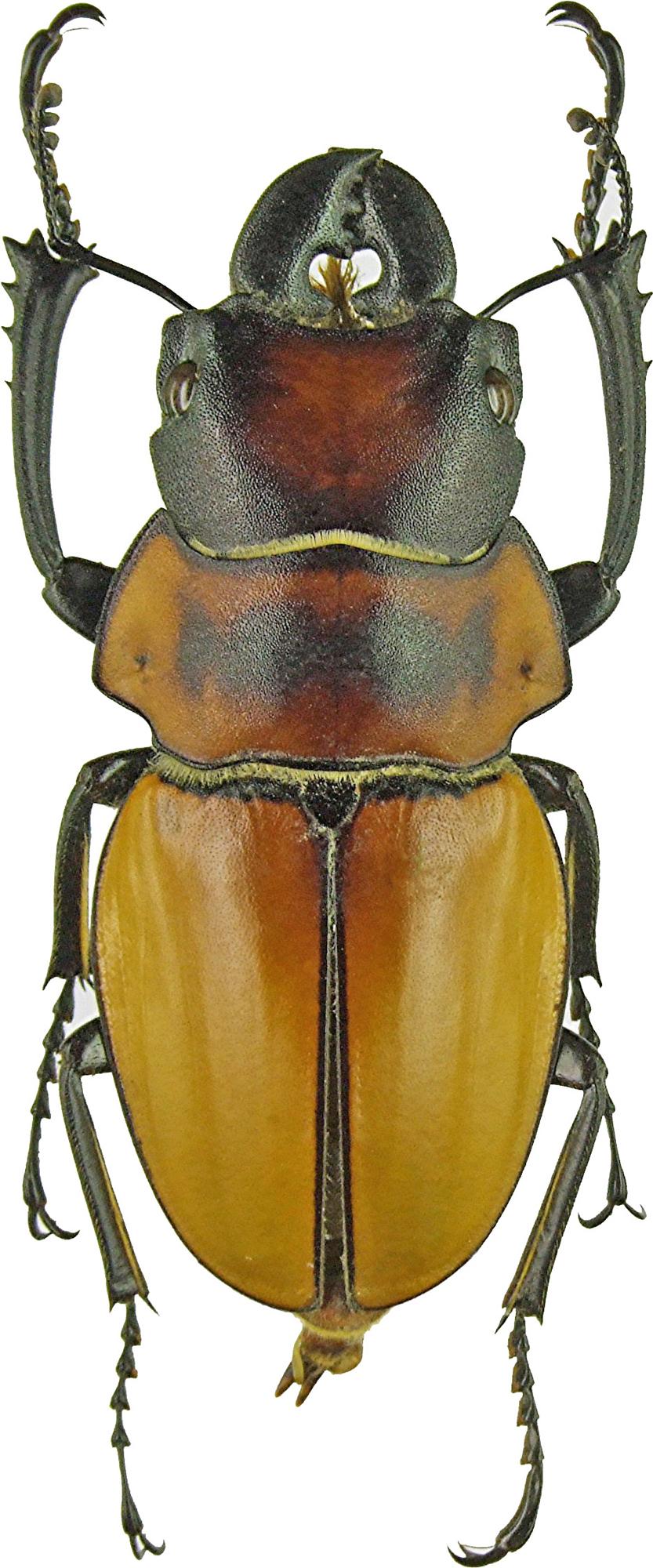 Odontolabis brookeanus 1133.jpg