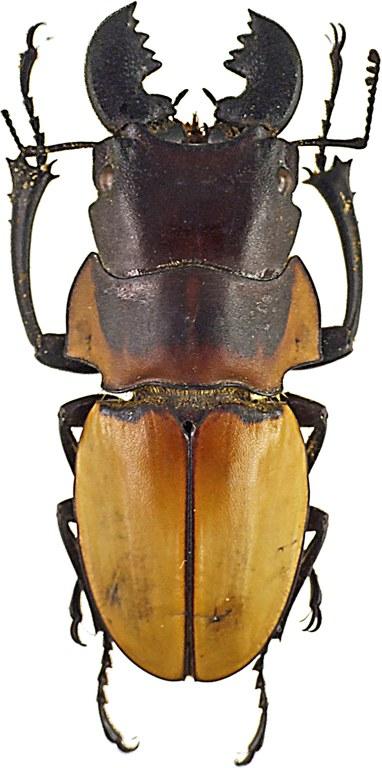 Odontolabis brookeanus 43046cz48.jpg