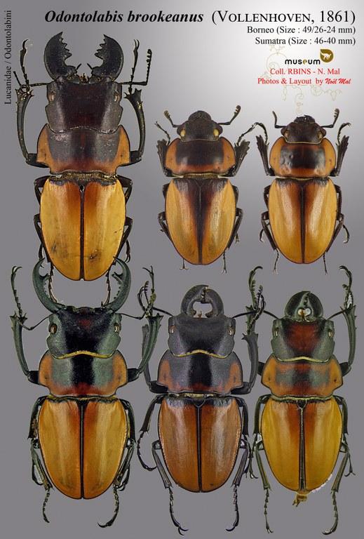 Odontolabis brookeanus.jpg