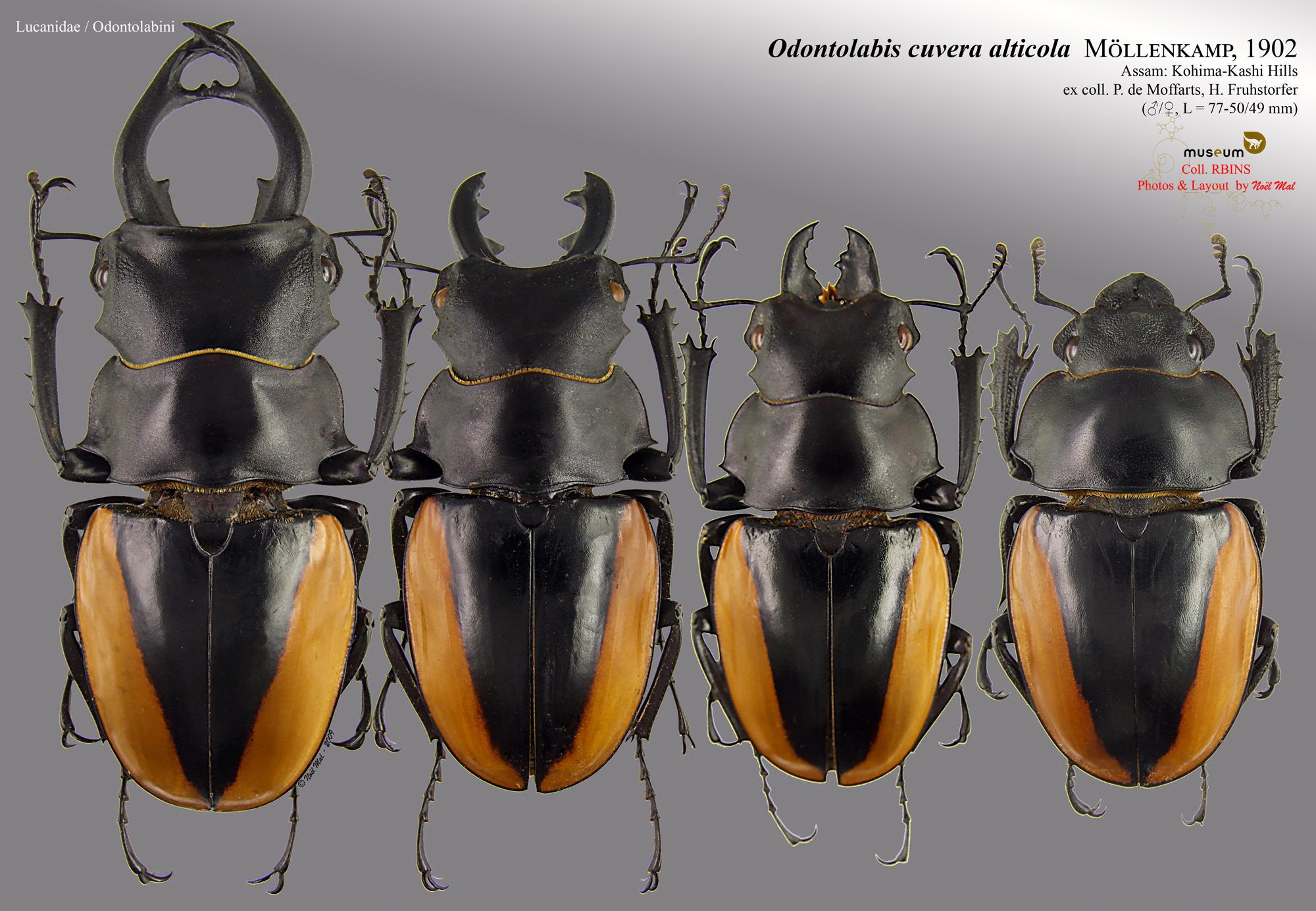 Odontolabis cuvera alticola.jpg