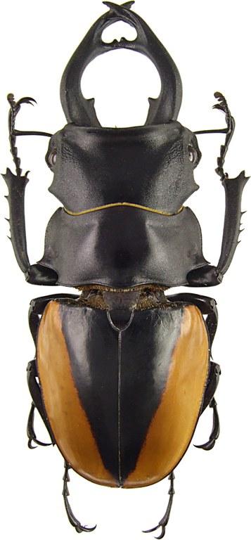 Odontolabis cuvera alticola 43065.jpg