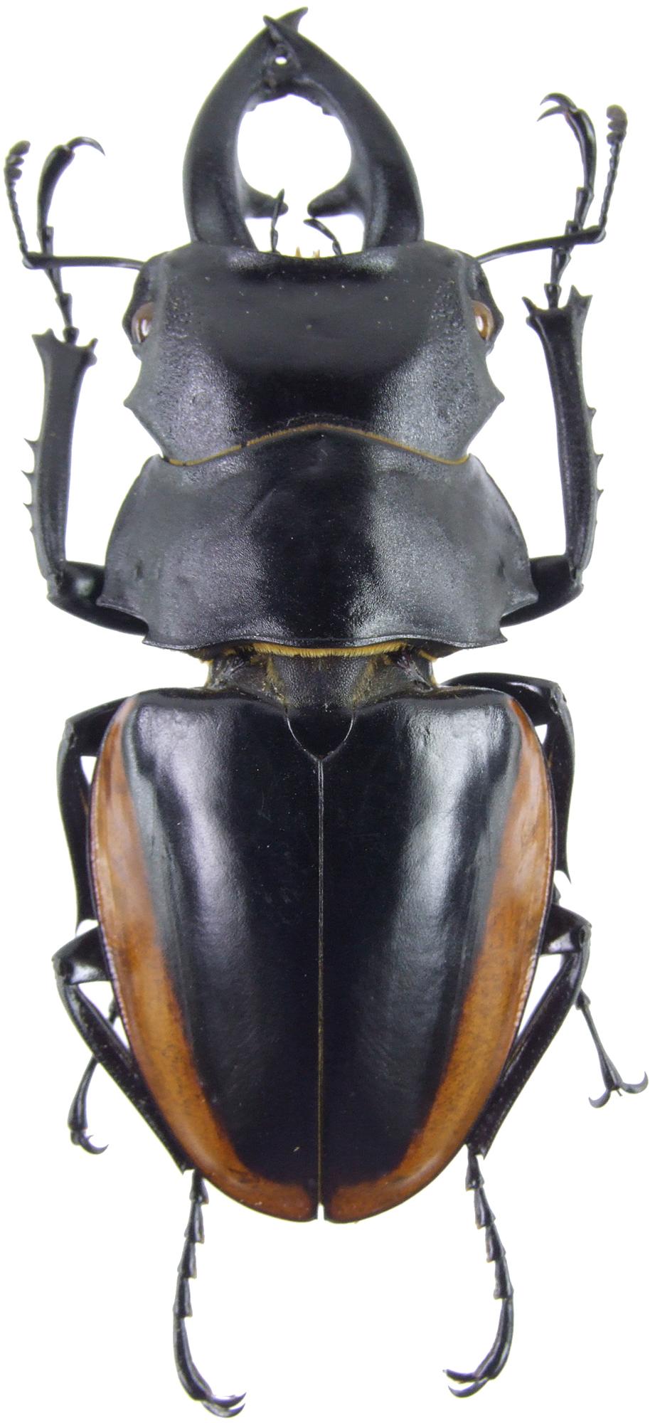 Odontolabis cuvera sinensis 4160.jpg