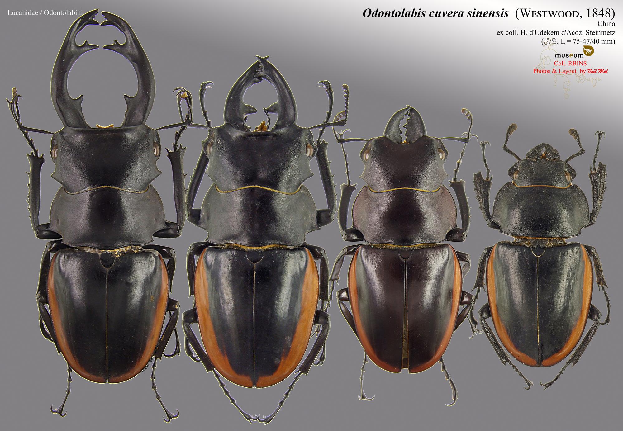 Odontolabis cuvera sinensis.jpg