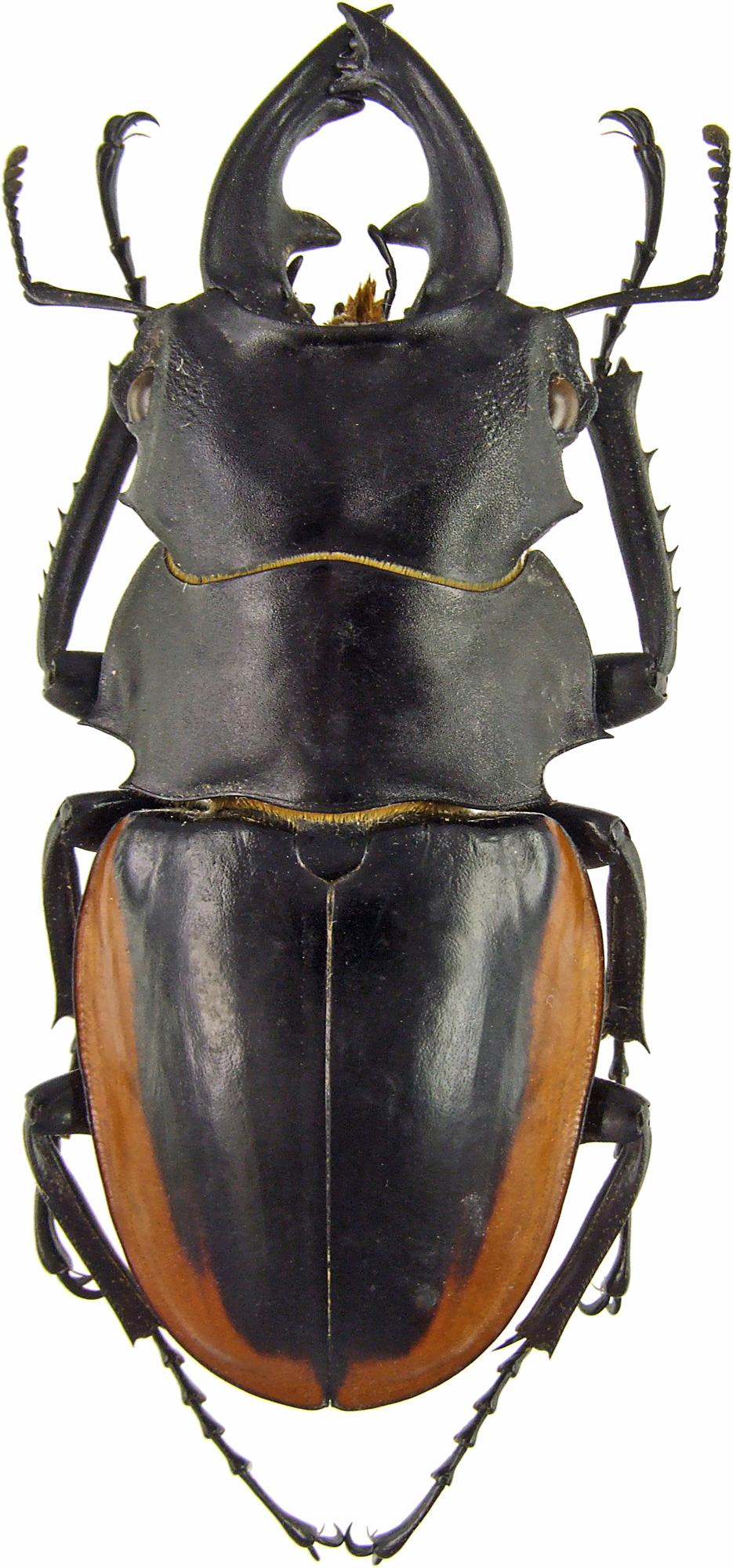 Odontolabis cuvera sinensis 42916.jpg
