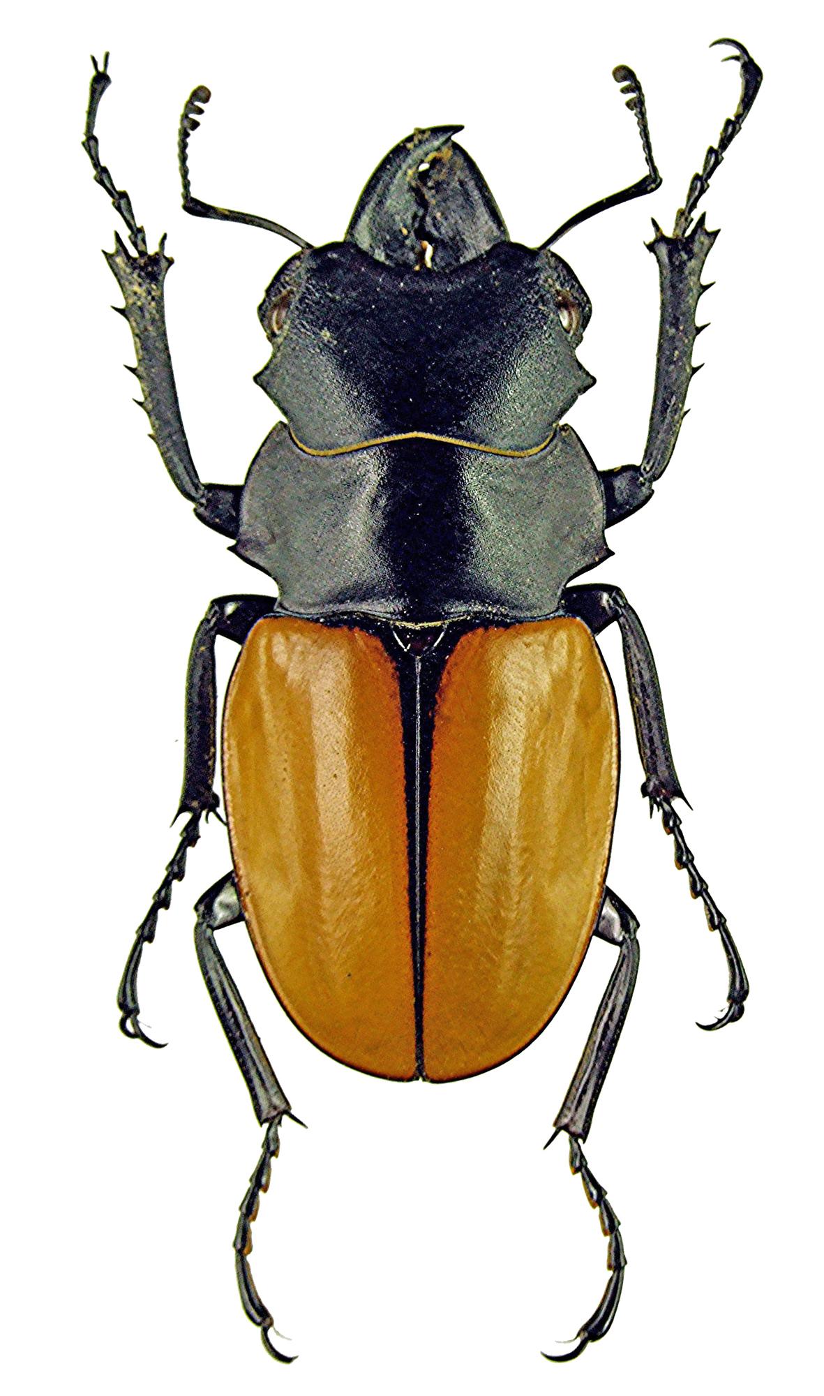 Odontolabis elegans 1137.jpg