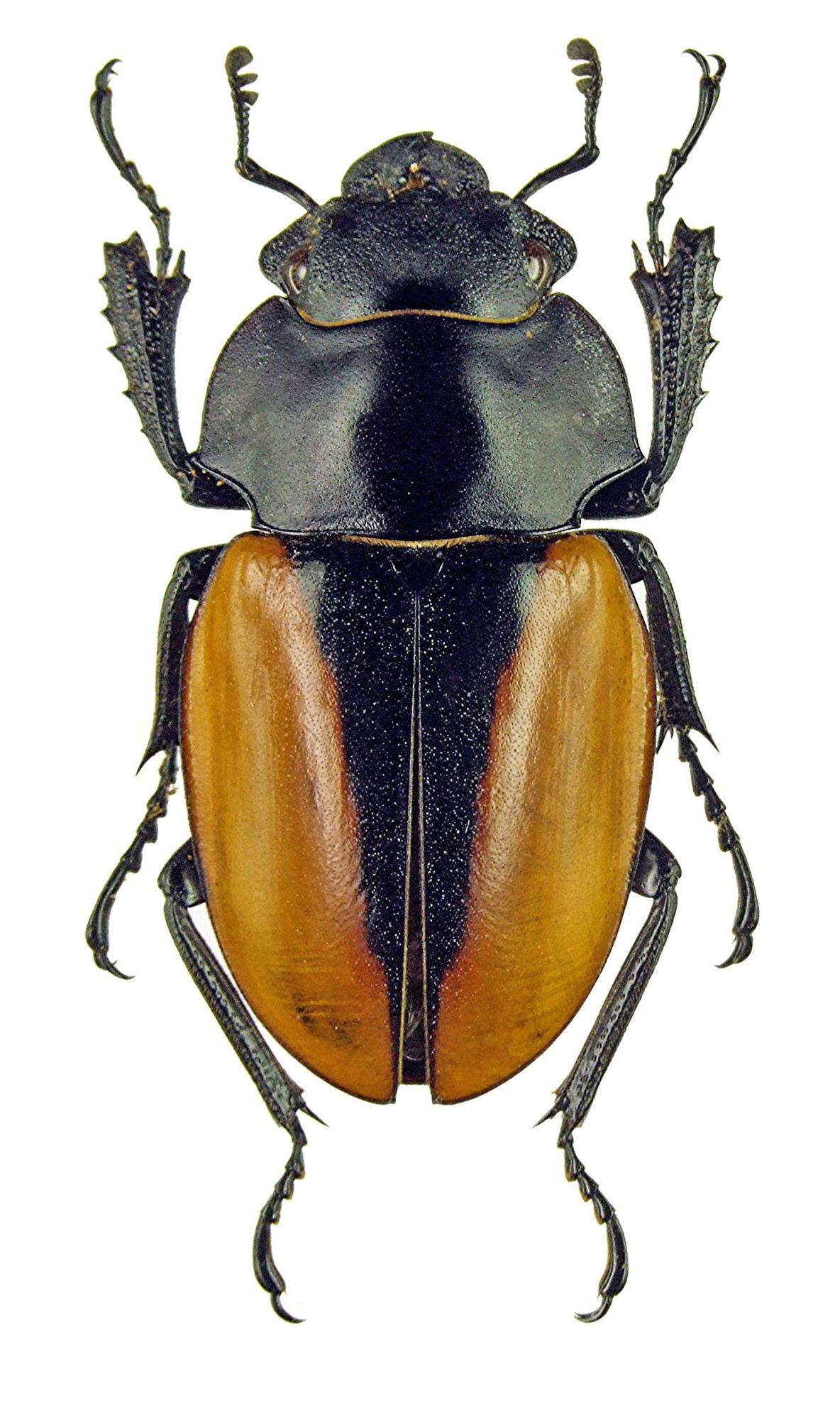 Odontolabis elegans 1138.jpg
