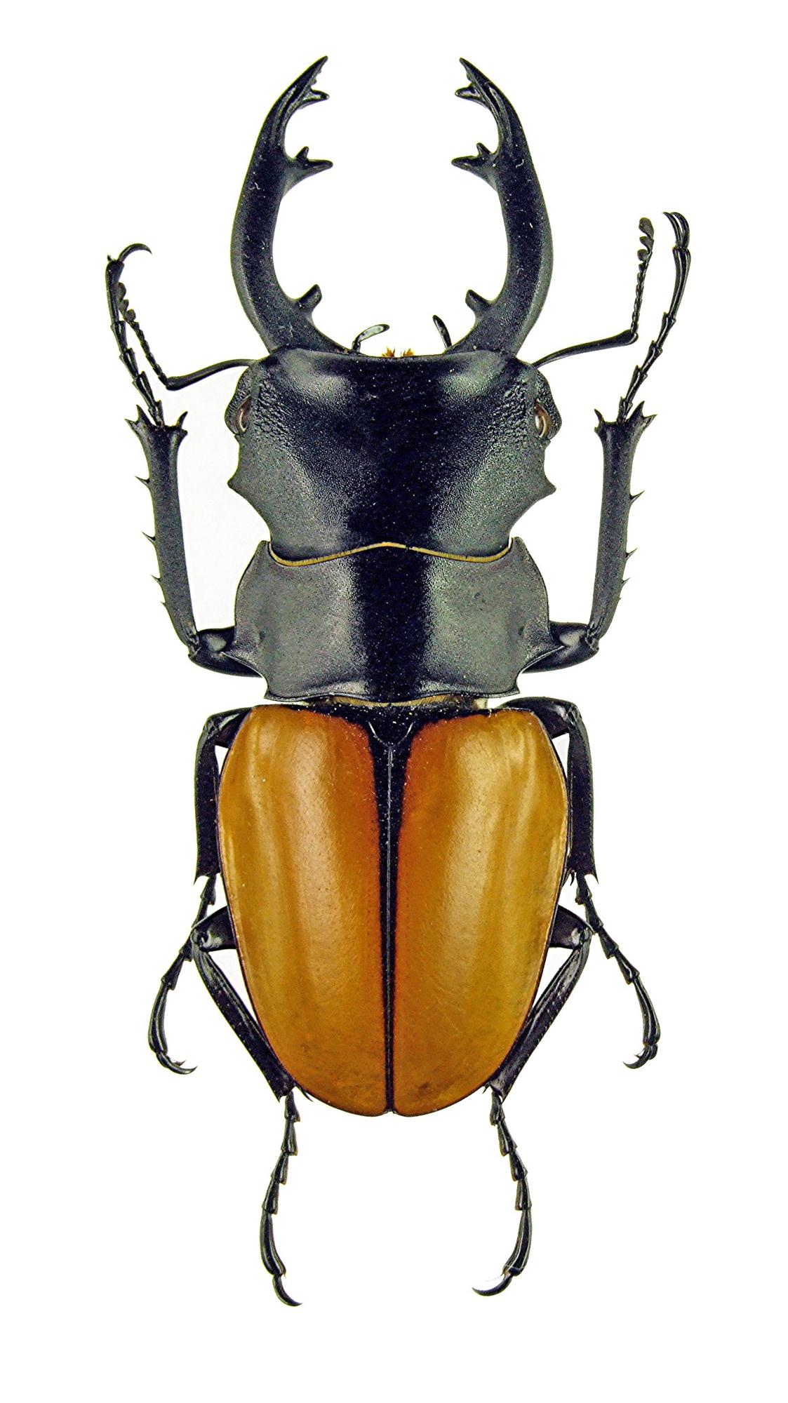Odontolabis elegans 1123.jpg