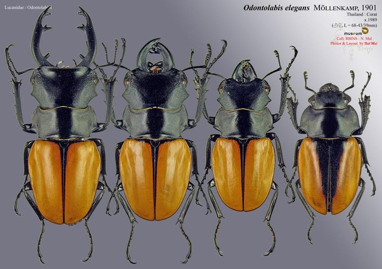 Odontolabis elegans.jpg