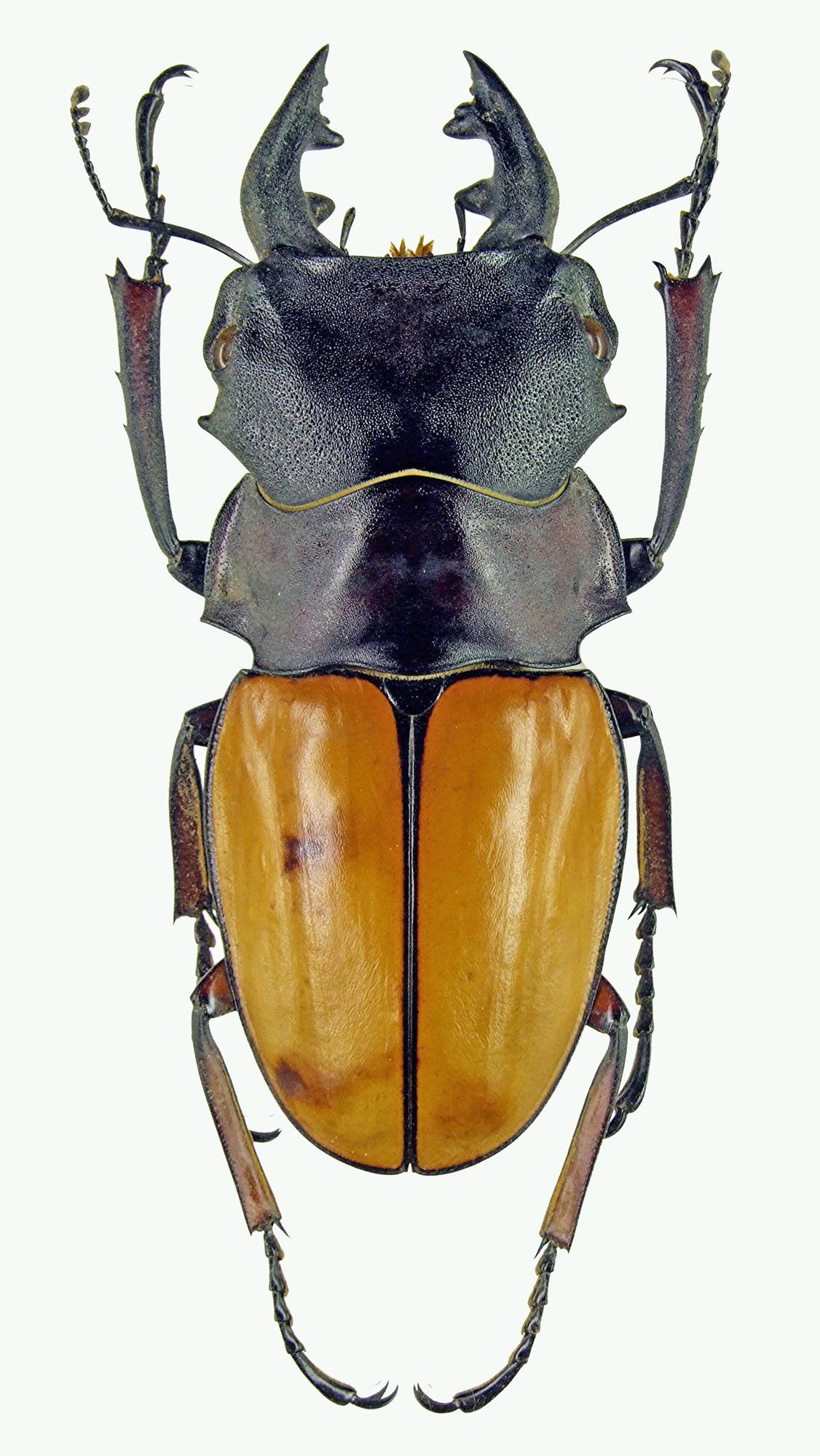 Odontolabis femoralis 1120.jpg