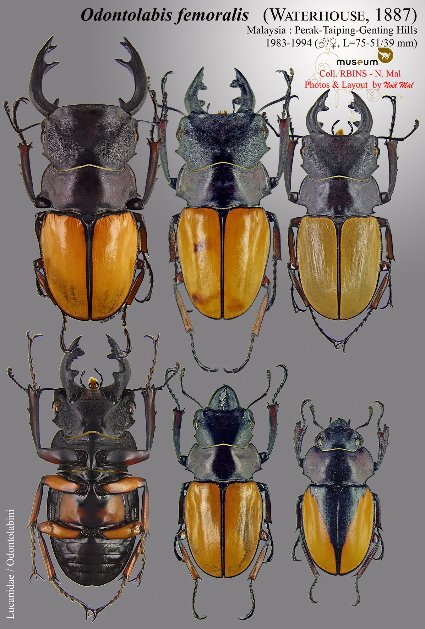 Odontolabis femoralis.jpg