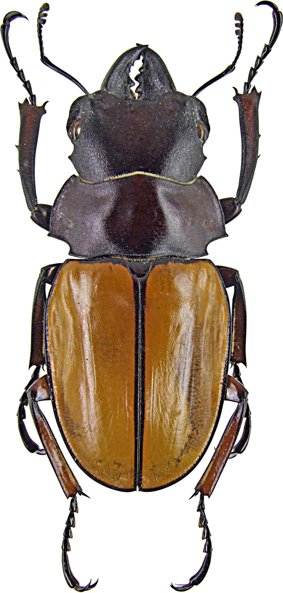 Odontolabis femoralis 1246.jpg