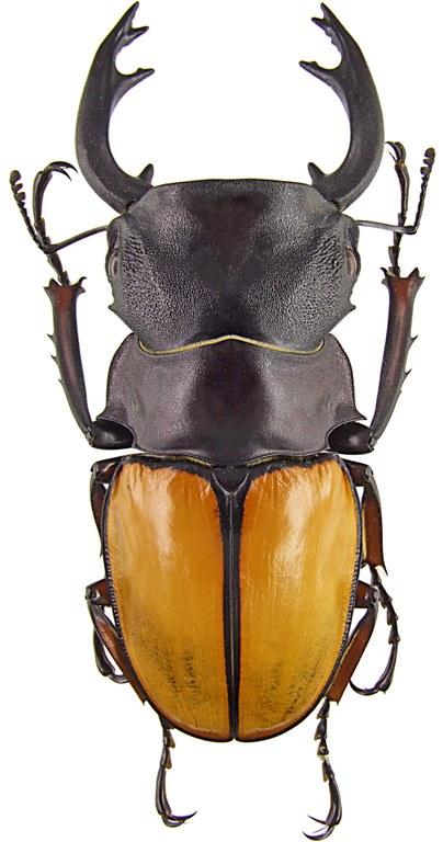 Odontolabis femoralis 43094.jpg