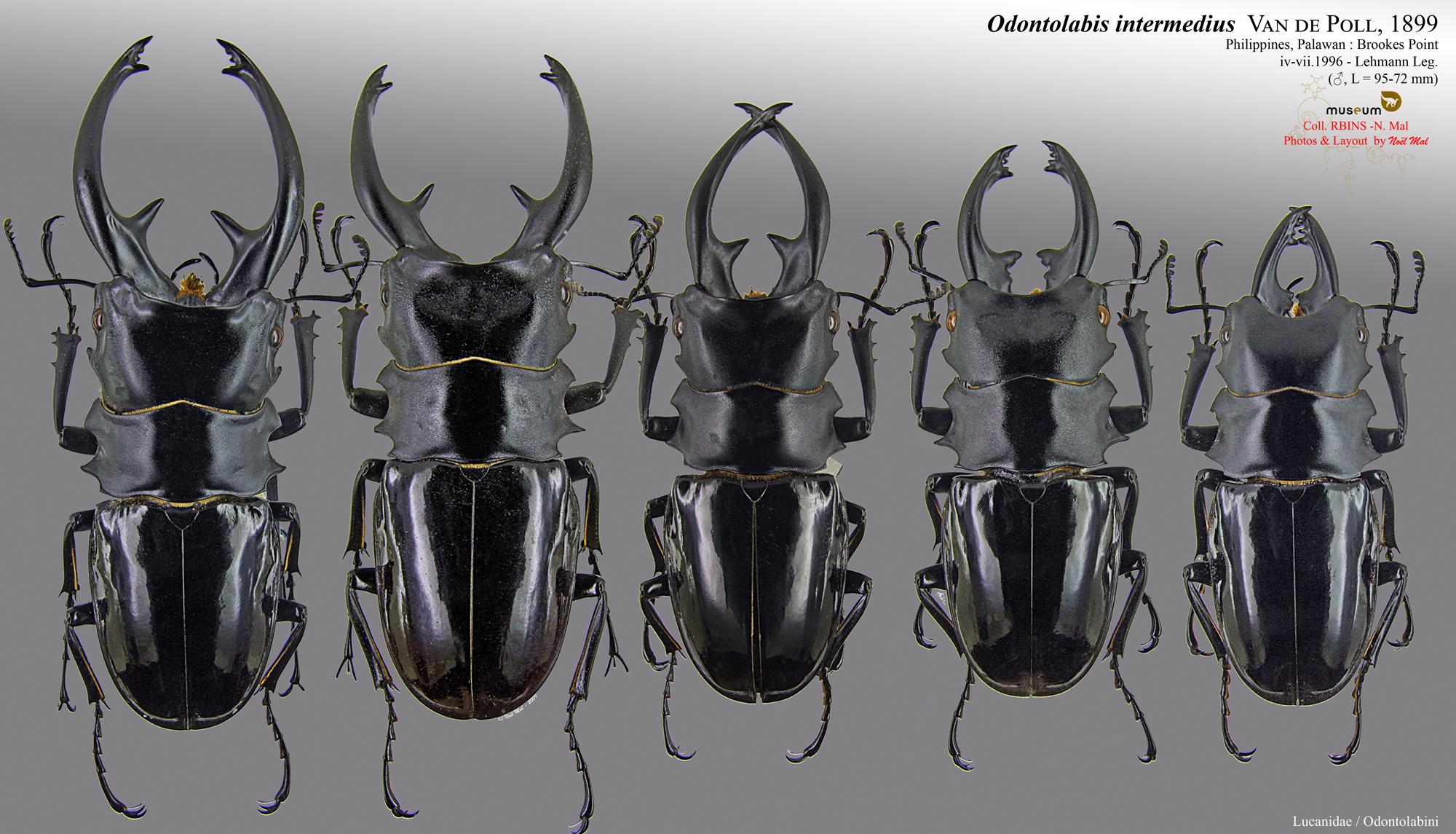 Odontolabis intermedius.jpg