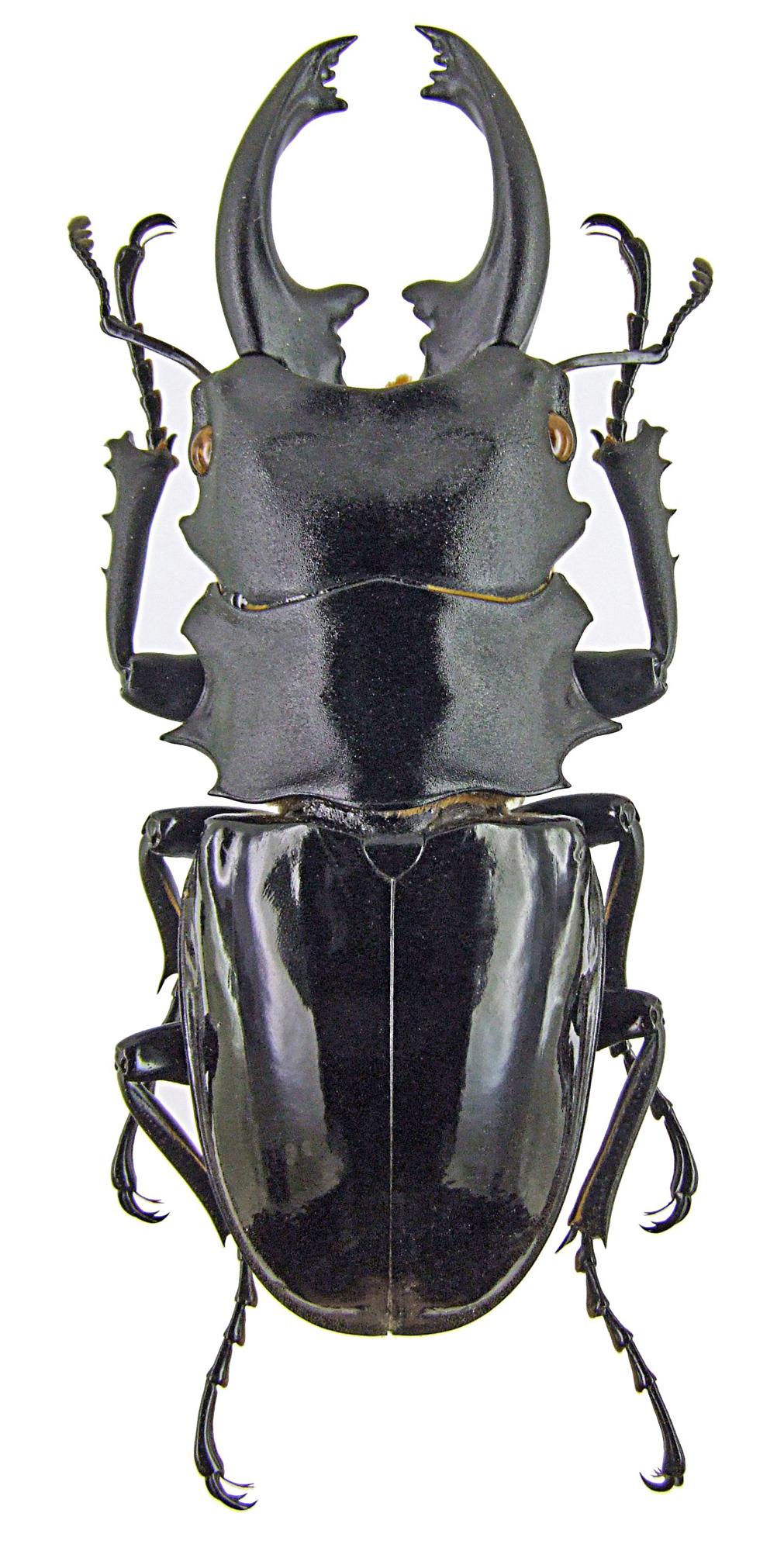 Odontolabis intermedius 1278.jpg