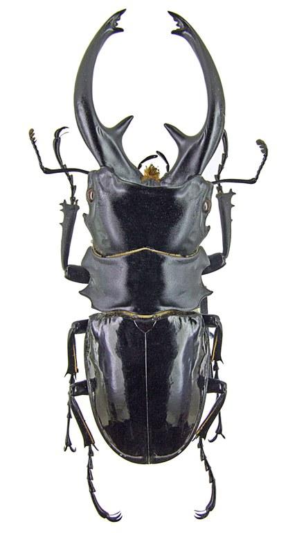Odontolabis intermedius 1277.jpg
