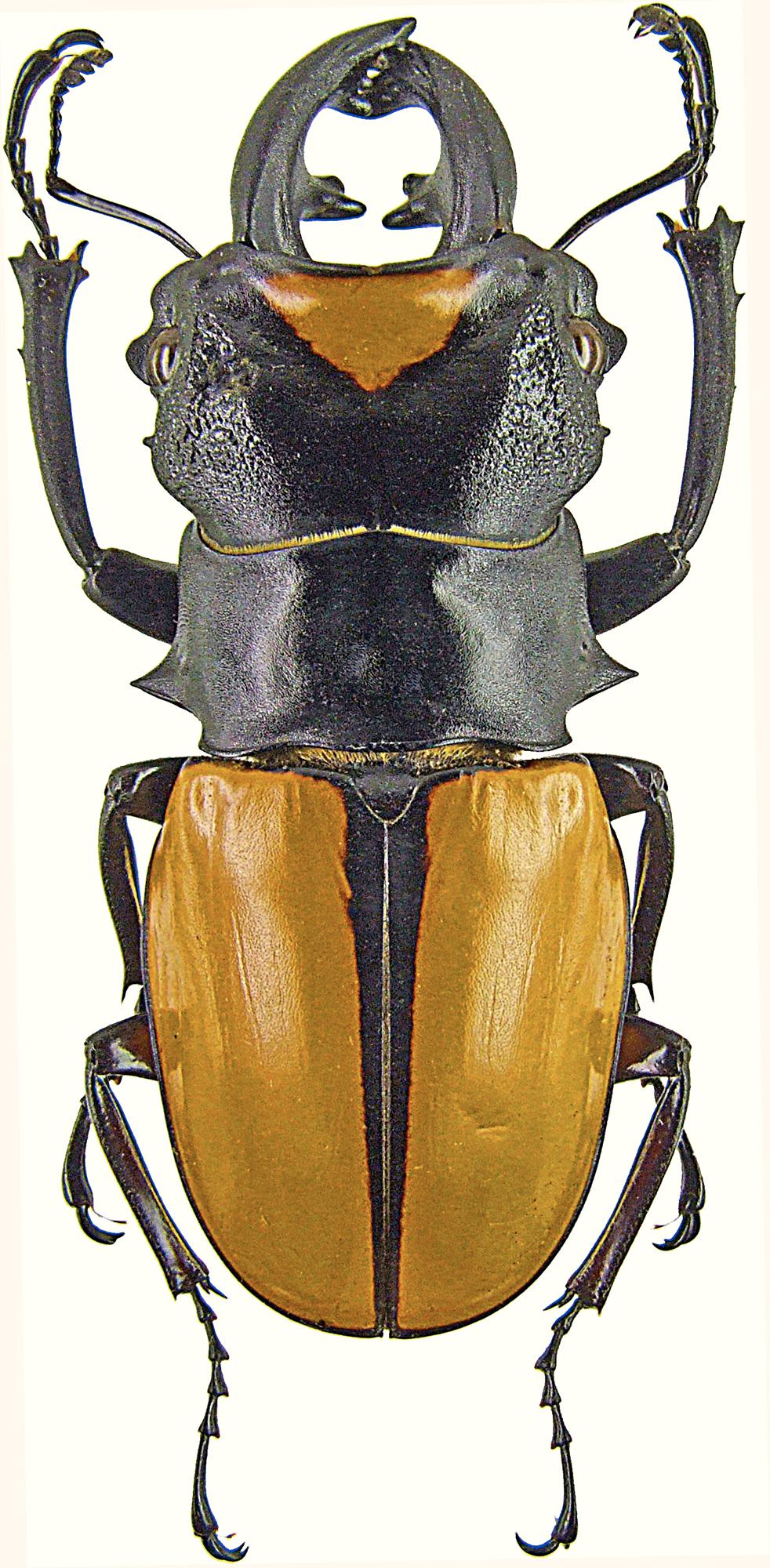 Odontolabis lacordairei 1272.jpg