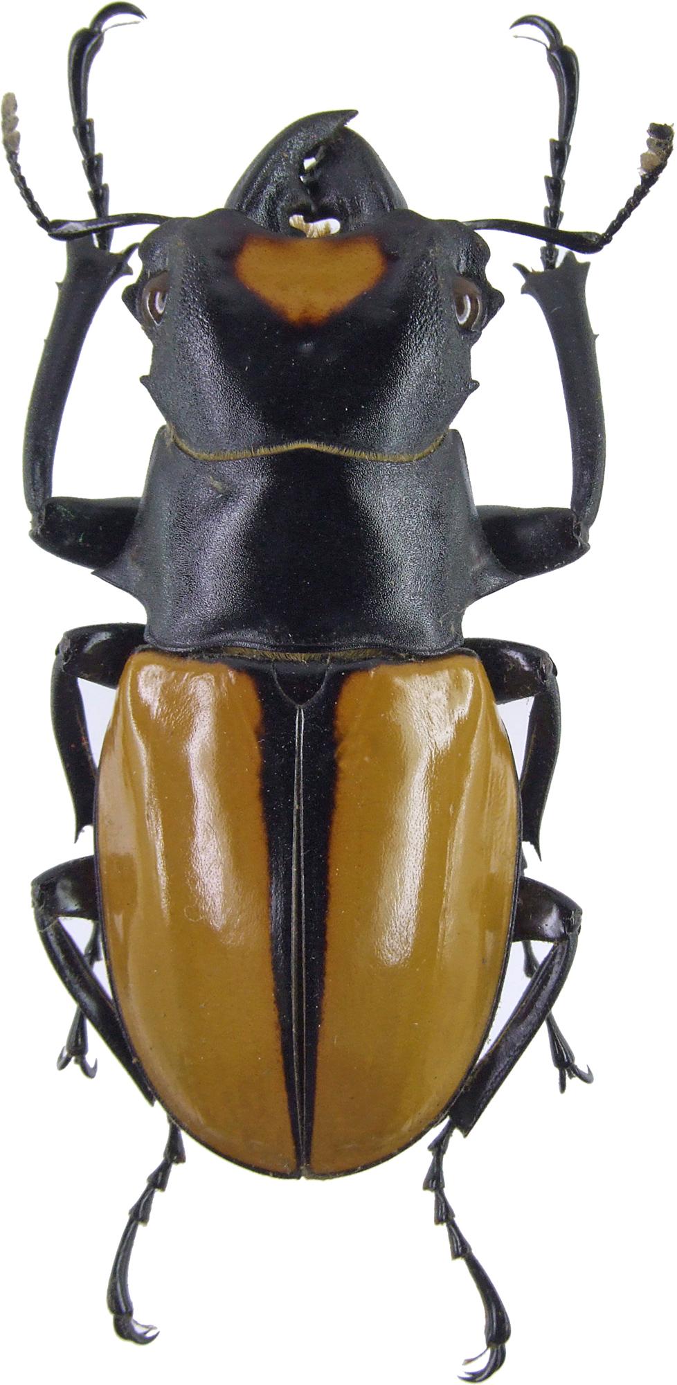 Odontolabis lacordairei 4149.jpg