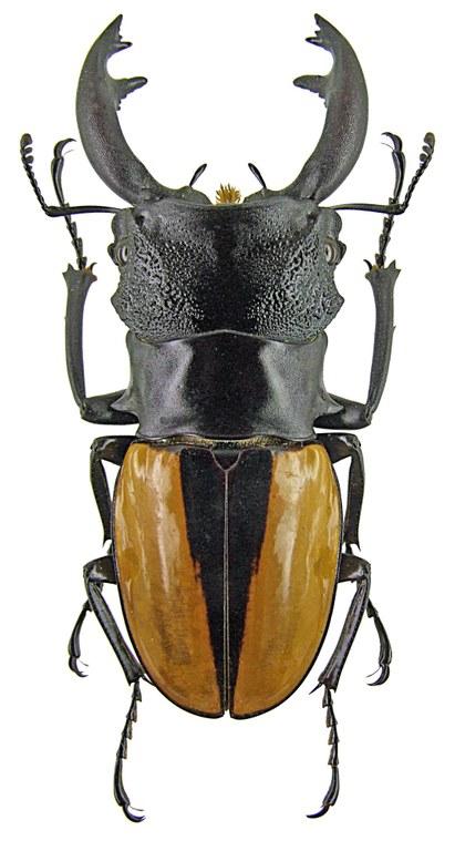 Odontolabis ludekingi monticola 1253.jpg