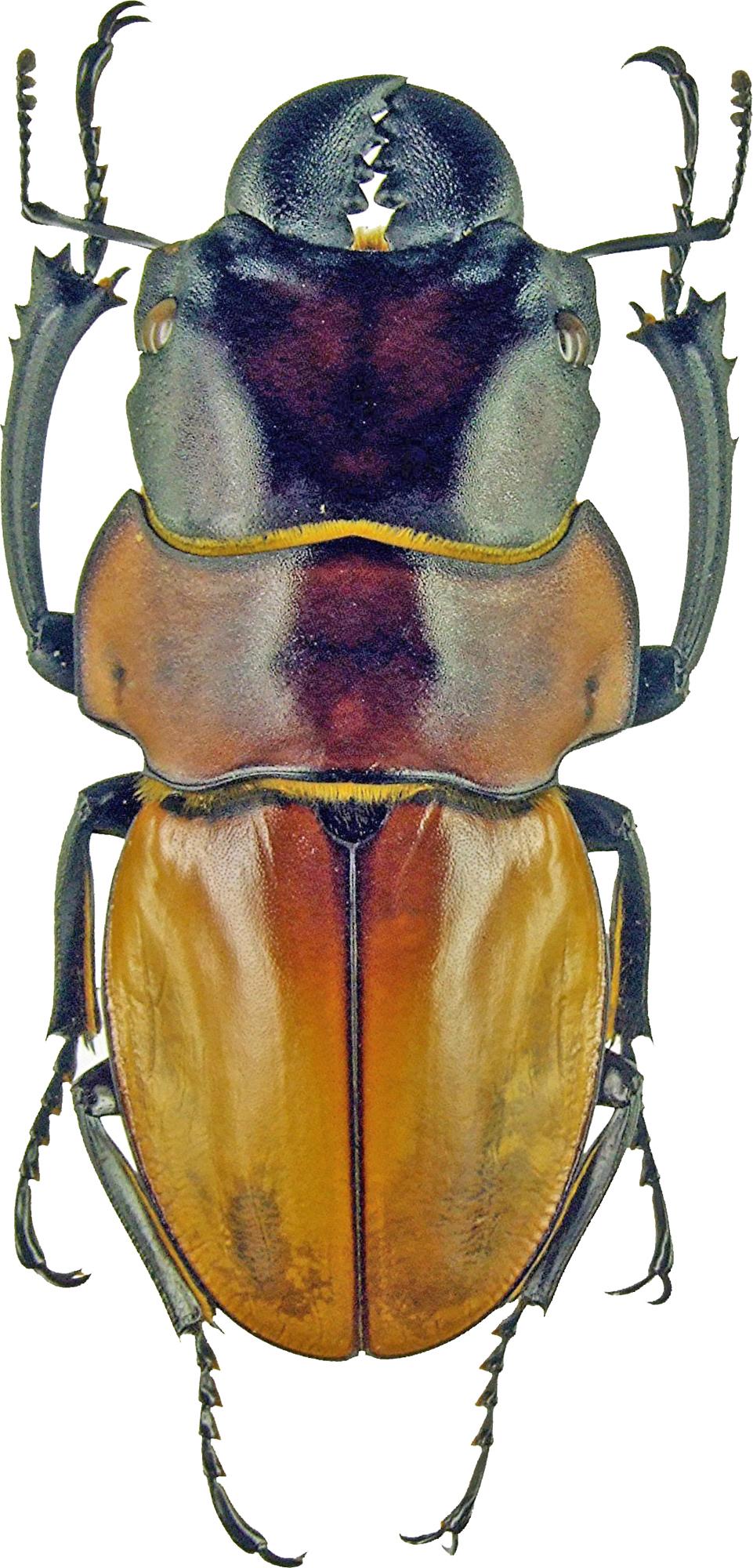 Odontolabis sommeri 1128.jpg