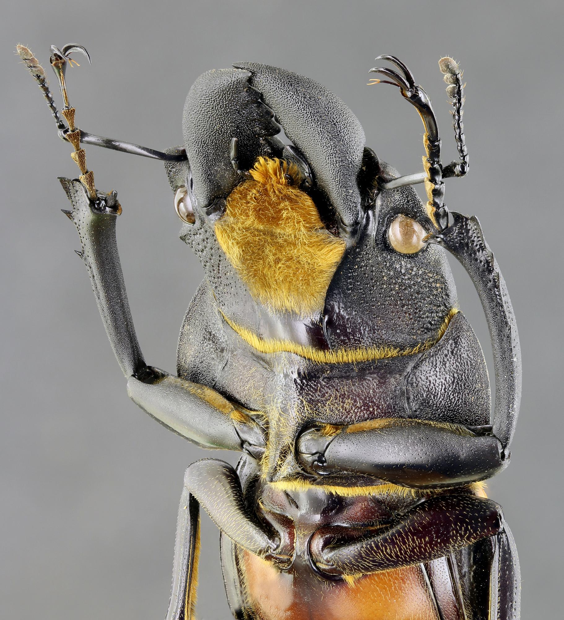 Odontolabis sommeri 68033zs55.jpg