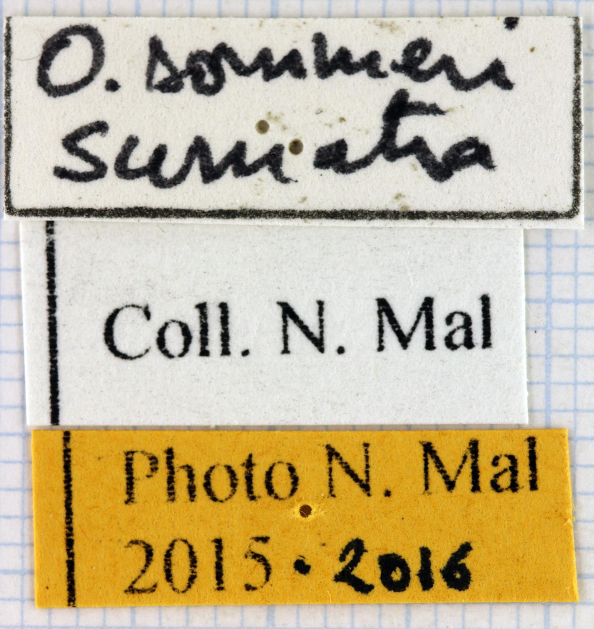 Odontolabis sommeri lab 68076.jpg