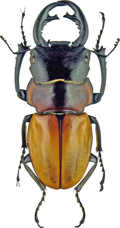 Odontolabis sommeri 1129.jpg