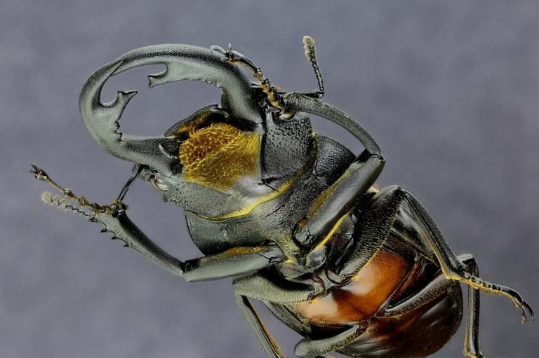 Odontolabis sommeri 30066zs88.jpg