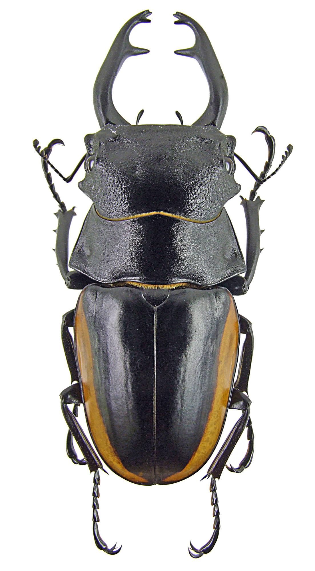 Odontolabis stevensi 1265.jpg