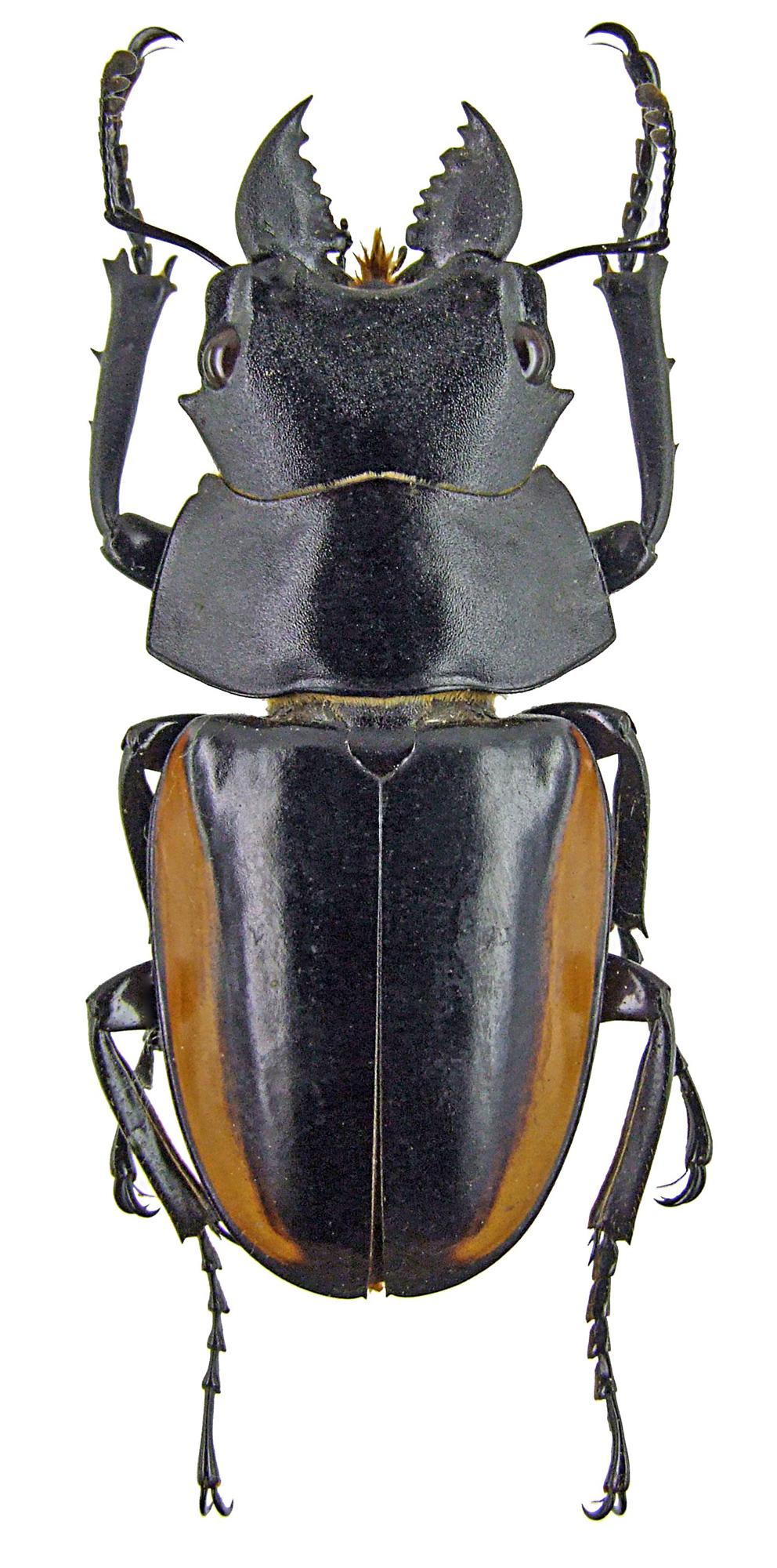 Odontolabis stevensi 1267.jpg