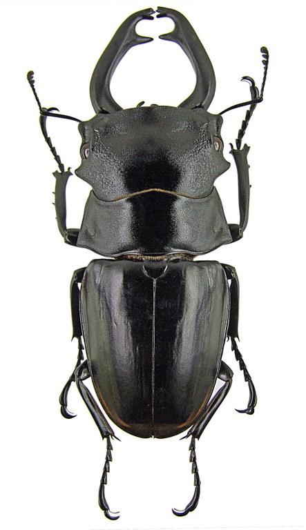 Odontolabis stevensi 1264.jpg