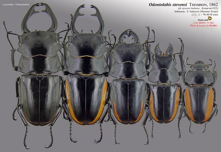 Odontolabis stevensi.jpg