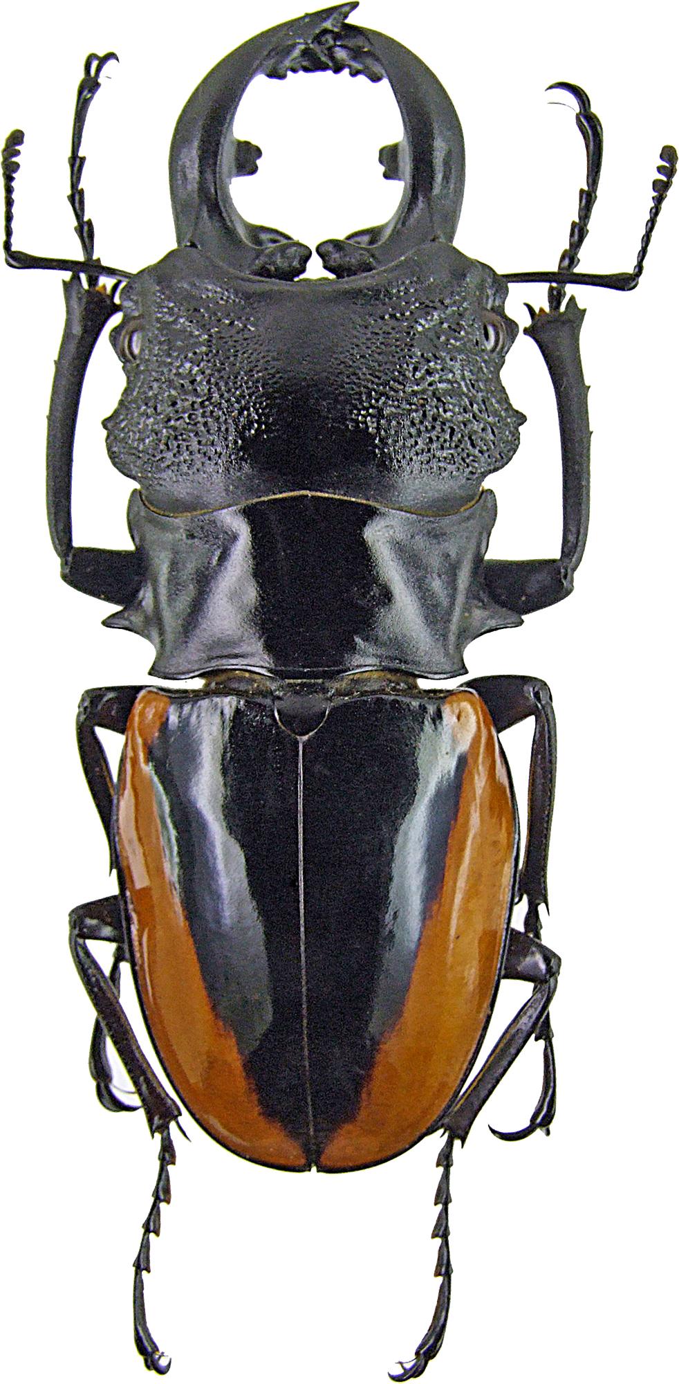 Odontolabis wollastoni 1262.jpg