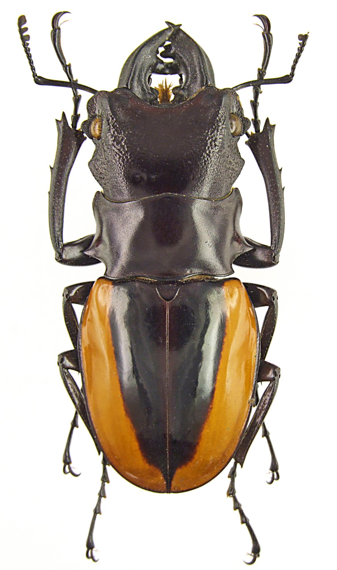 Odontolabis wollastoni 43132.jpg