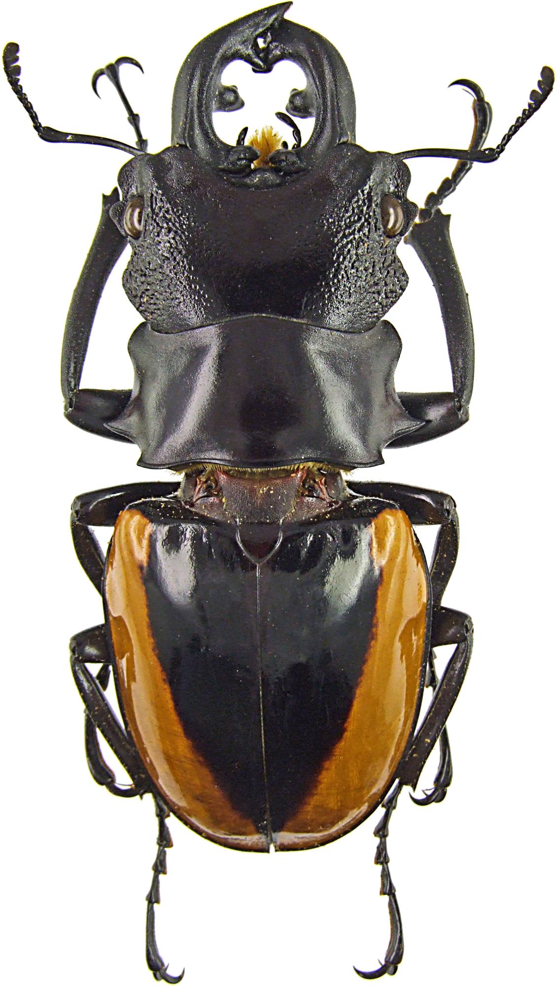 Odontolabis wollastoni 43133.jpg