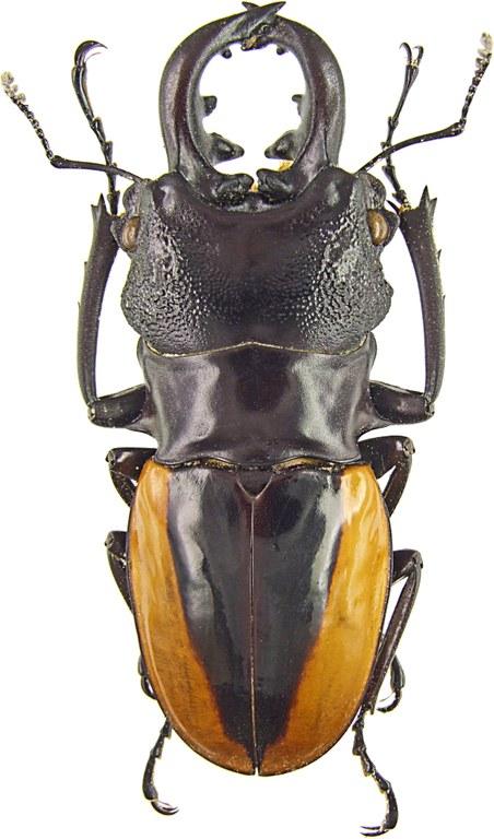Odontolabis wollastoni 43134.jpg