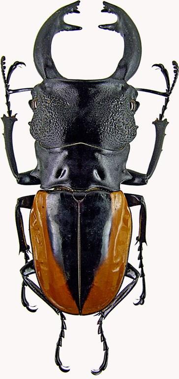 Odontolabis wollastoni 1261.jpg