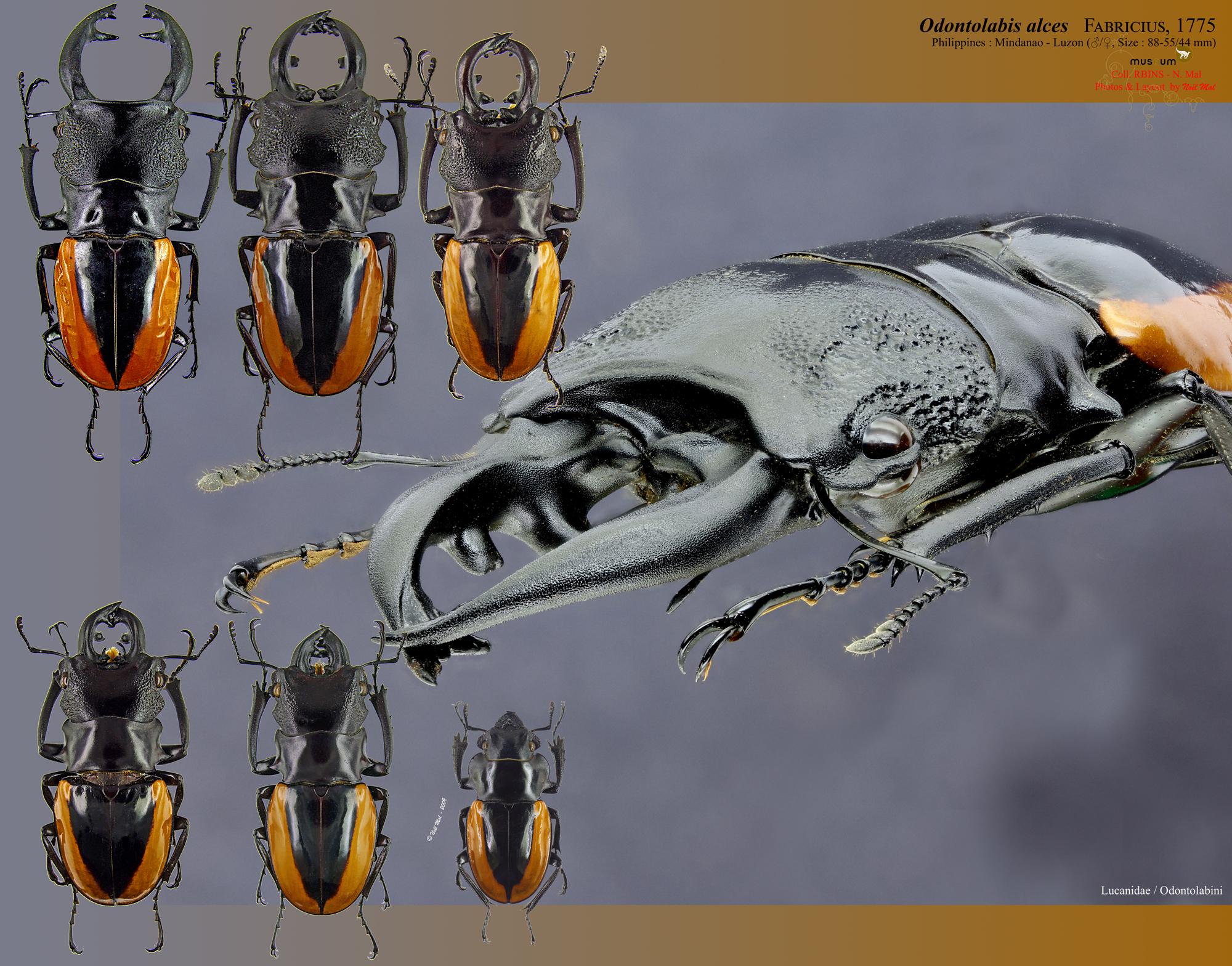 Odontolabis wollastoni.jpg