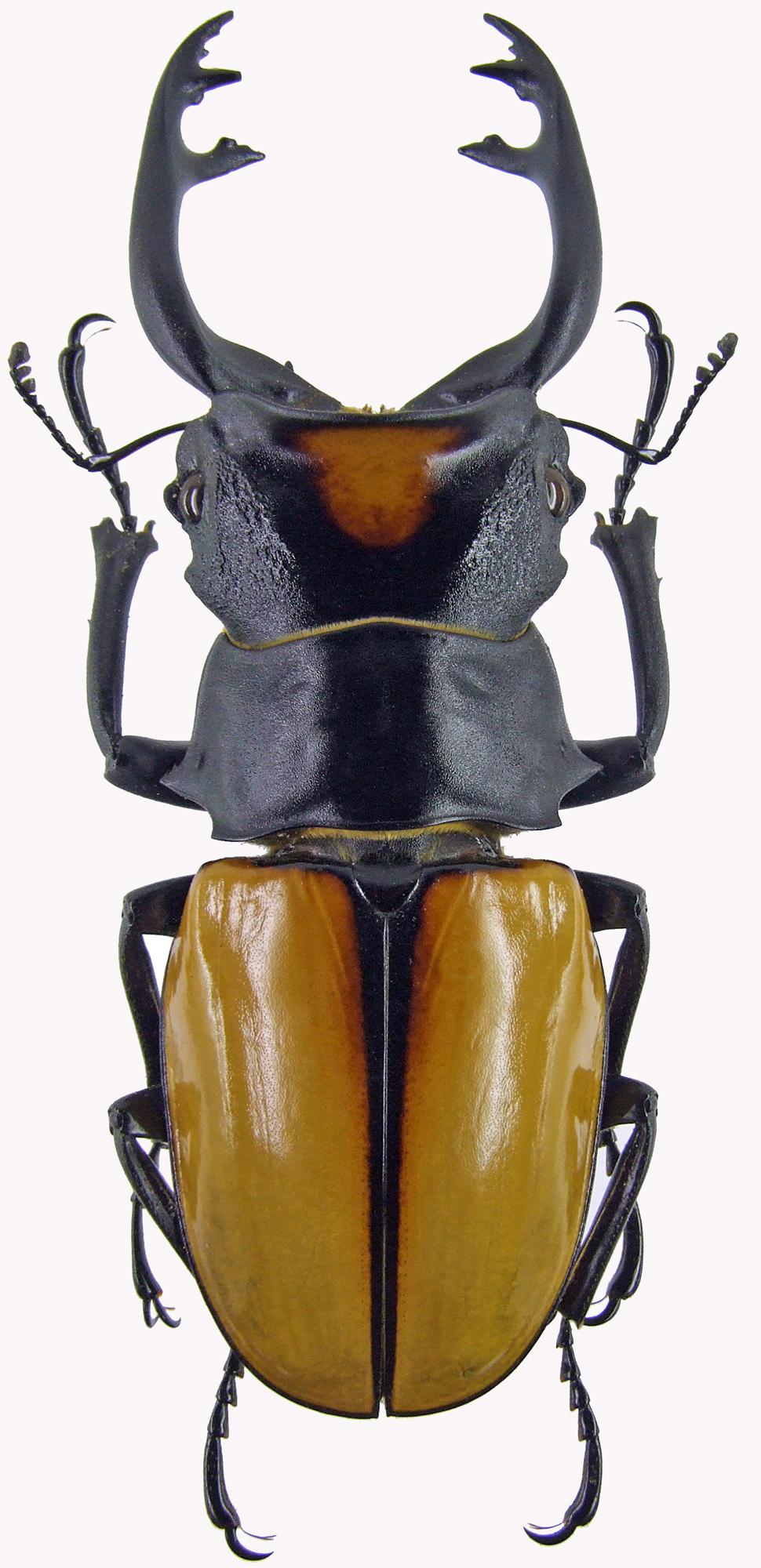 Odontolabis yasuokai 4177.jpg