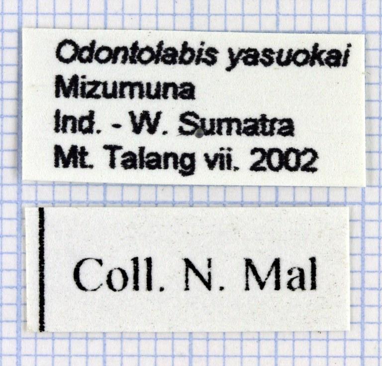 Odontolabis yasuokai lab 29925.jpg