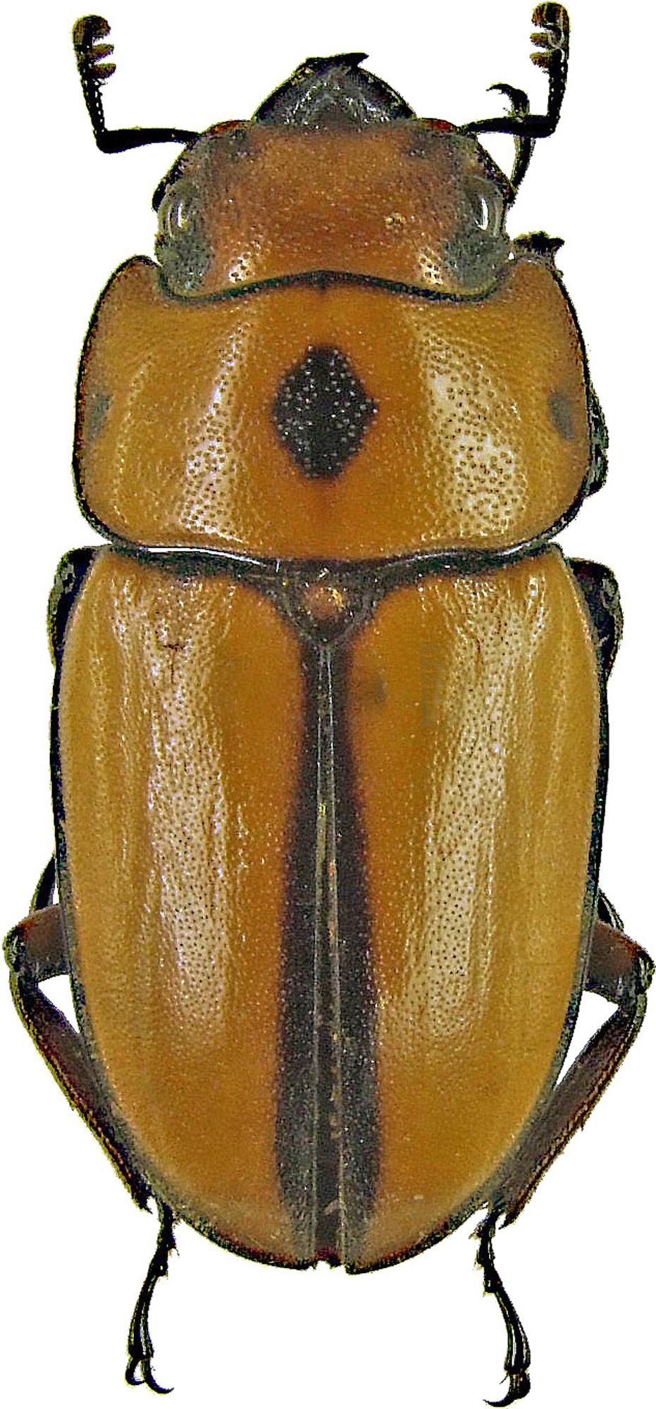 Prosopocoilus (Cyclotropus) occipitalis 1168.jpg