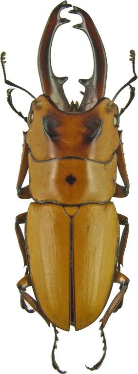 Prosopocoilus (Cyclotropus) occipitalis 1165.jpg
