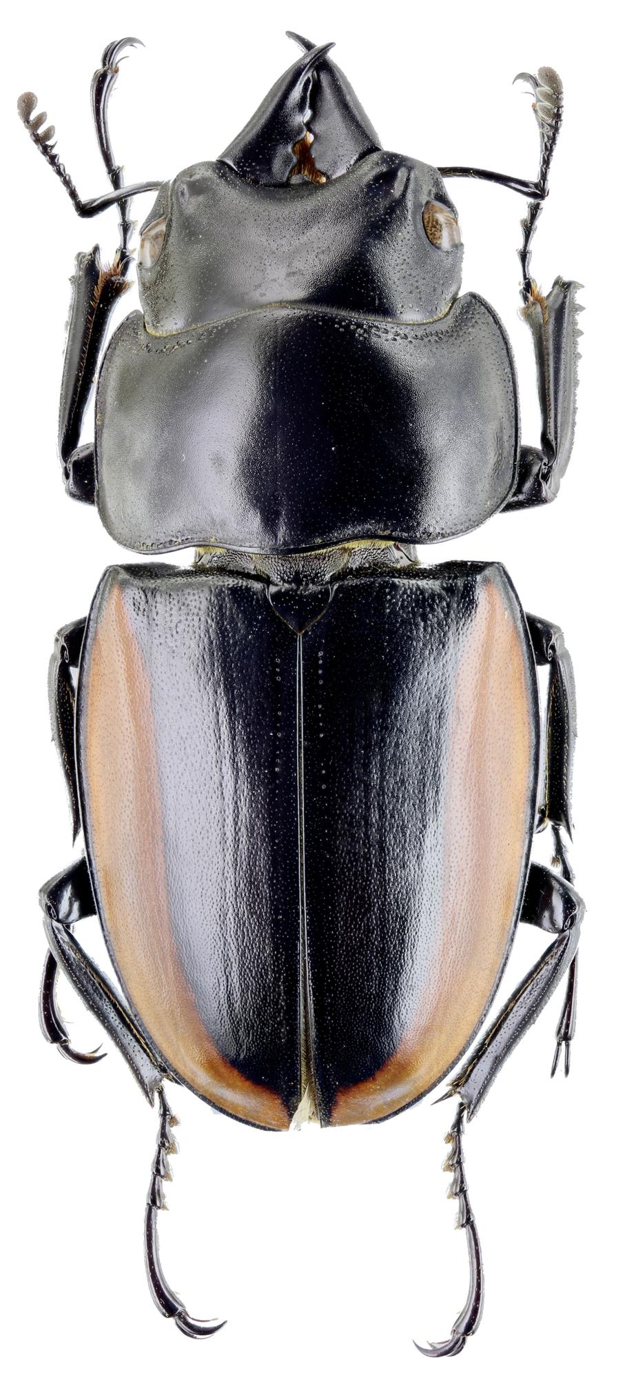 Prosopocoilus lafertei moineri 30706zs14.jpg