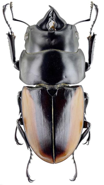 Prosopocoilus lafertei moineri 30715zs24.jpg