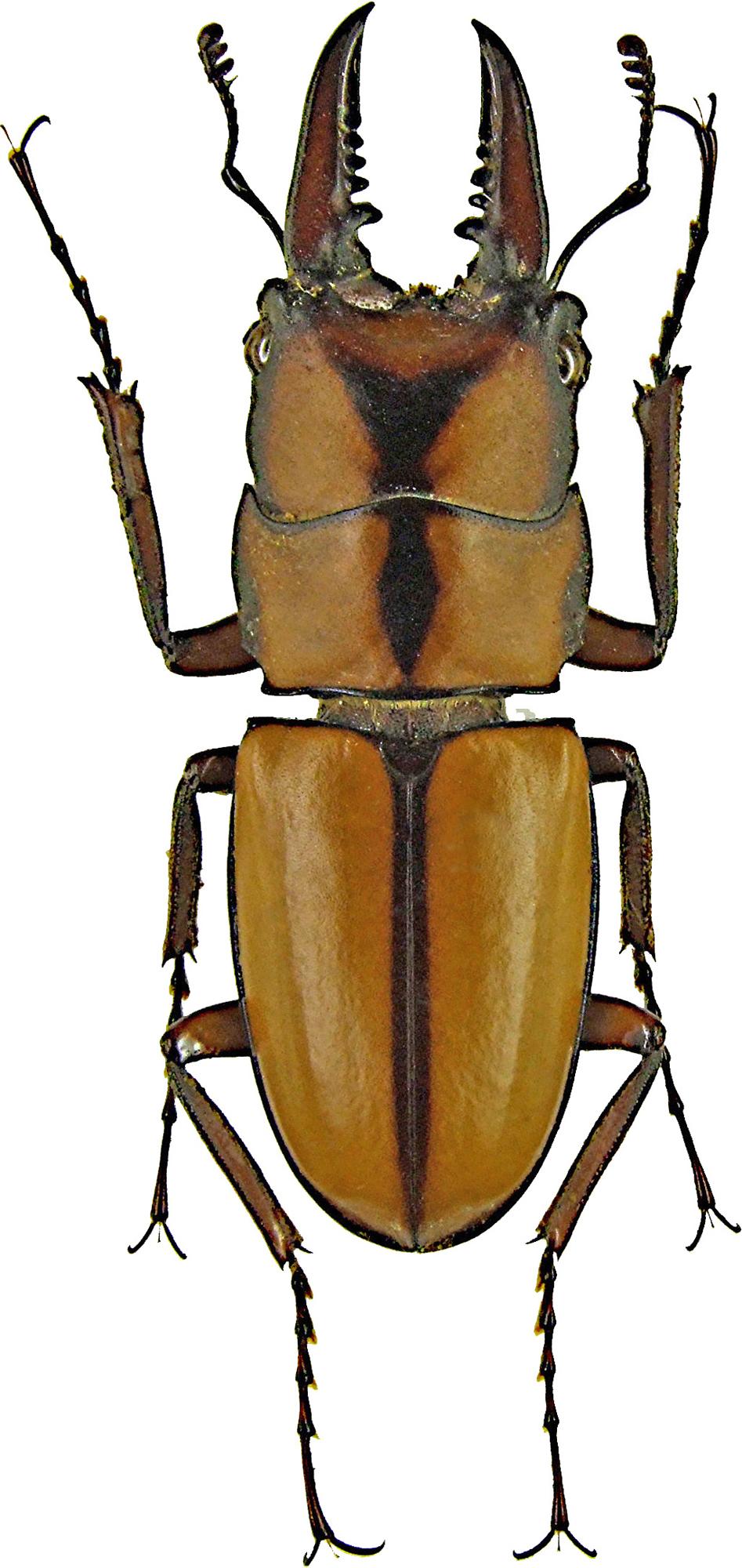 Prosopocoilus (Metopodontus) kannegieteri 1200.jpg